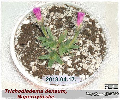 Trichodiadema modensum, Napernyőcske