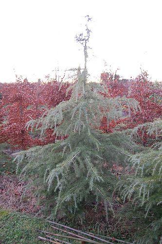 Cedrus Deodora/Himalayan Cedar