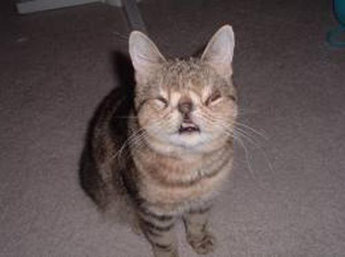22 best images about The Ugliest Cats on Pinterest ...