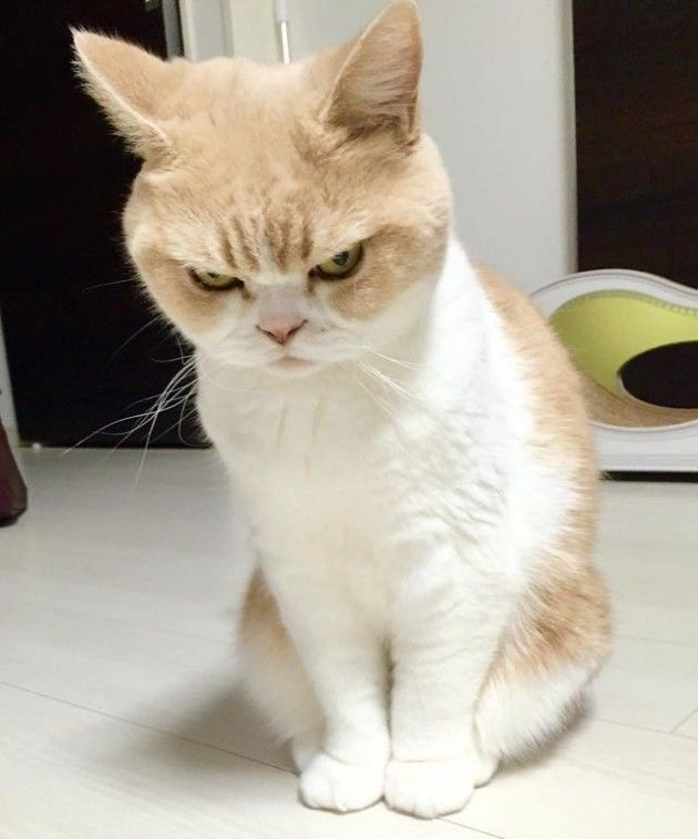 Best แมวเถอน Images On Pinterest Dr Who Faces And Japan - Meet the japanese cat that might just be the grumpiest kitty ever