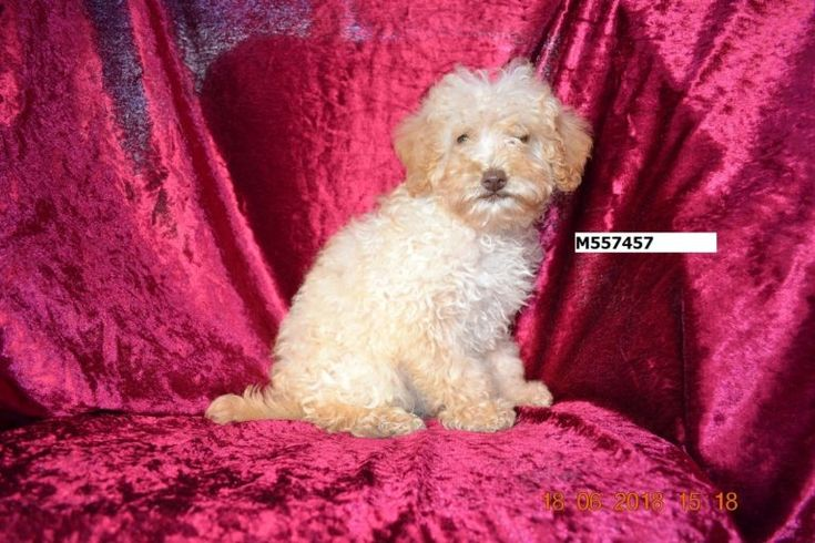 Labradoodle For Sale in Melbourne Ameys Puppies