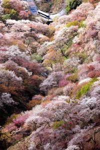 奈良県吉野町の世界遺産・吉野山で約3万本のシロヤマザクラが見ごろ/UNESCO World Herritage,Yoshino-Yama full cherry blossom, Nara, Japan