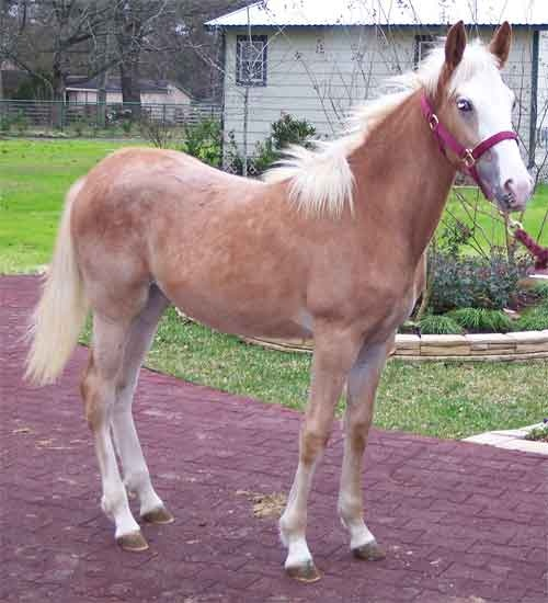 63 best images about Strawberry Roan Horses on Pinterest ... - photo#41