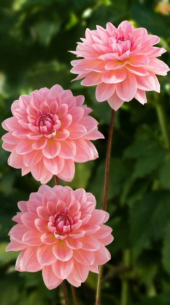 ~~Dahlia 'Janice' ~ pink Waterlily dahlia that combines well with all colors. Strong, straight stems hold blooms high in plants that look great in the garden | Corralitos Gardens~~