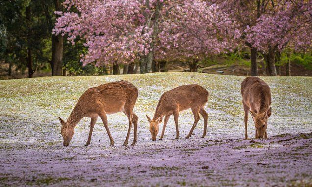 Oh deer: Japan park issues tips as animals nibble tourists #DailyMail