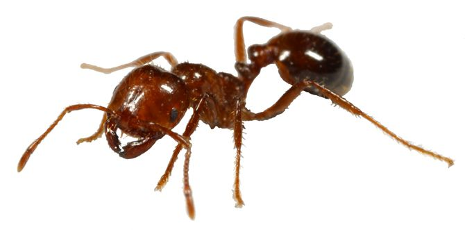 Fire Ants!  how to spot them, how to treat bites