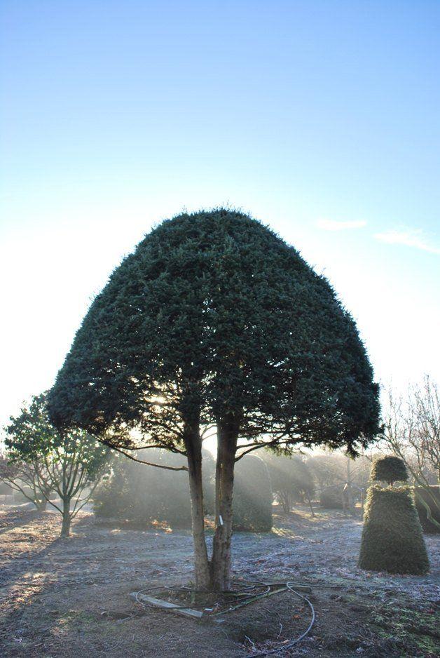 35 best b ume trees images on pinterest gartenb ume g rtnern und kleine g rten. Black Bedroom Furniture Sets. Home Design Ideas