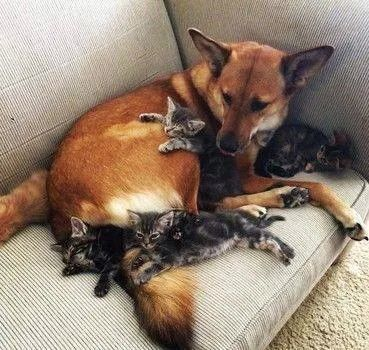 Aww! A loving dog with kittens all over it! These kittens feel safe! Cute!!