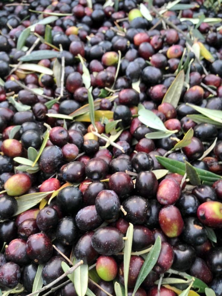 #olive nere! #Sabina in #montelibretti