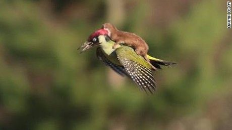 Martin Le-May shot this photo of a weasel on a green woodpecker in Essex, England, March 2.