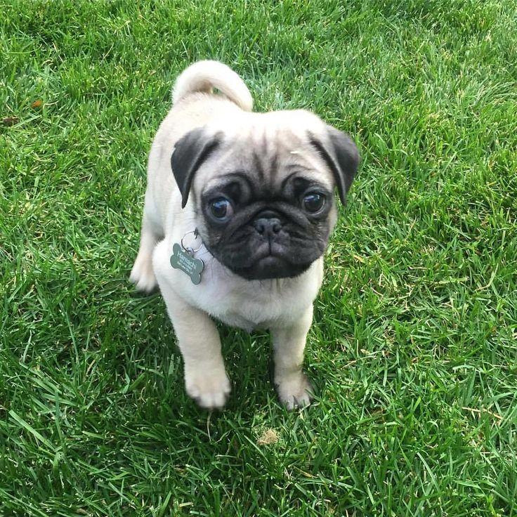 I would hug it to death!✌️  #pugdaily #pugs #pug #cute #puglover