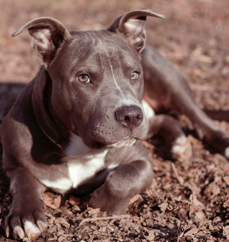 #pitbull pupZ © Hashenda Baxter. All Rights Reserved.