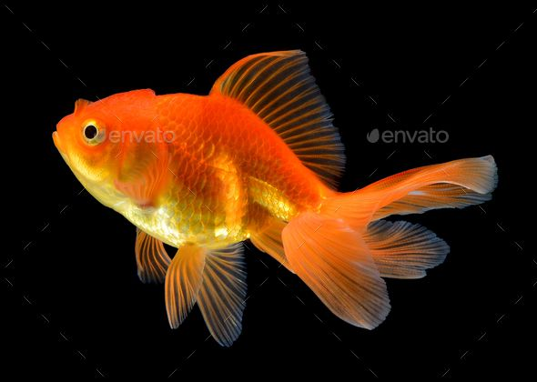 Gold Fish On Black Background Goldfish Black Backgrounds Golden Fish