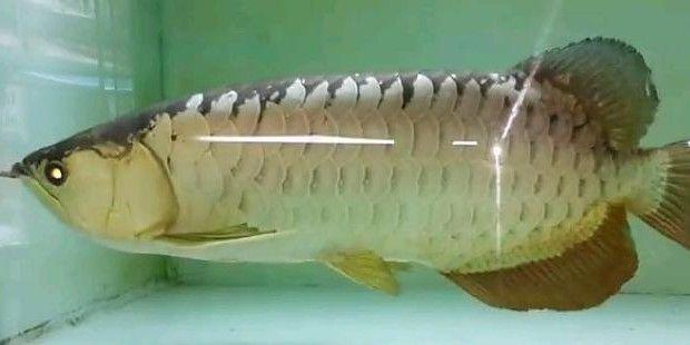 Cá rồng Quá Bối 24K 9999 size 50 cm tuyệt đẹp