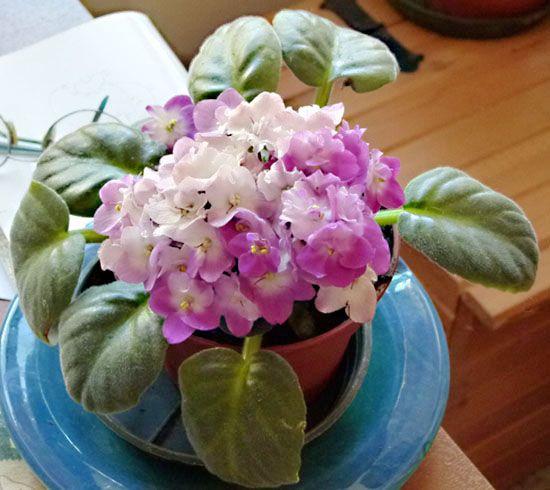 Violetta africana, Saintpaulia scheda di coltivazione