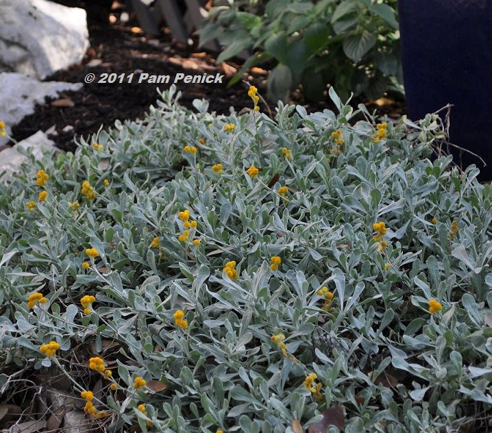 Chrysocephalum apiculatum 'Silver and Gold' - the flowers seem to go a deeper shade, more orangey, as they age/dry out