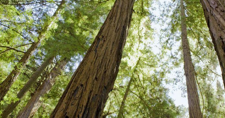 Características de uma conífera. As coníferas são uma divisão de plantas do reino vegetal com sementes produzidas como cones. Existem aproximadamente 550 espécies vivas de coníferas na Terra, sendo todas árvores ou arbustos. Elas dominam as florestas boreais de alta altitude e têm folhas sempre-verdes, parecidas com agulhas. Cedros, pinheiros, sequoias, abetos, píceas e cicutas ...
