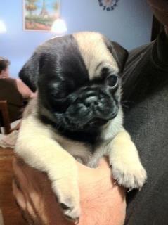 Uniquely born black and fawn pug puppy.  So very beautiful in his uniqueness.