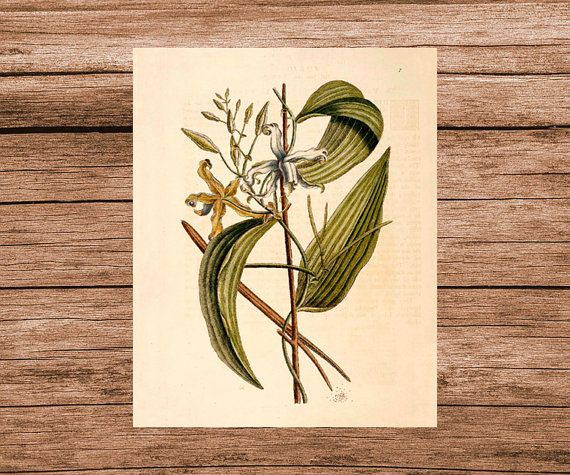 Catesby Vanilla Orchid Art Print Botanical Poster by HappyHomeCo
