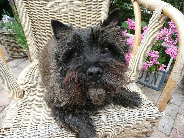 cairn terrier Cairn terriers |pewe via Flickr - Photo Sharing!