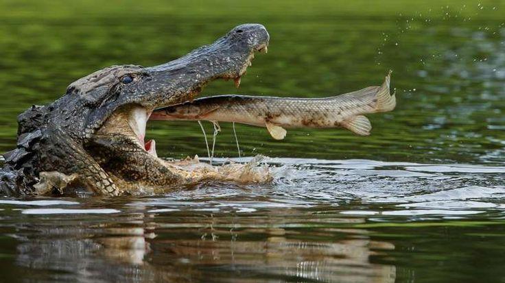 22 - Un caimán americano devora en pleno salto un pejelagarto, uno de los peces más antiguos que existen en la actualidad