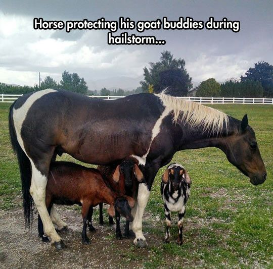 Good Guy Horse. I think the goats are just smart enough to take advantage of the horse during the storm.