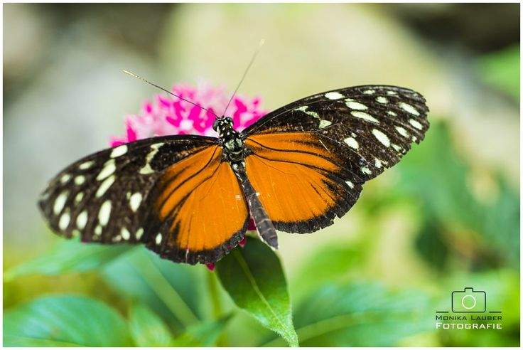 Orange and Black Butterfly, Photo by Monika Lauber
