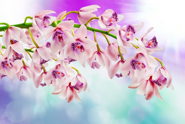 Orchid, pink flowers, spring wallpaper