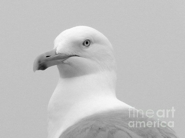 "A Study in Black and White by Karen Cook - ""I love this photo I took of this Herring Gull just feet from the Bay of Fundy in Pocologan New Brunswick. A daily visitor to the Bay Breeze Restaurant, it will peck at the window screen to get attention and hopefully, a free meal! It was very willing to pose for the camera, no doubt used to the attention its handsome looks merit! """