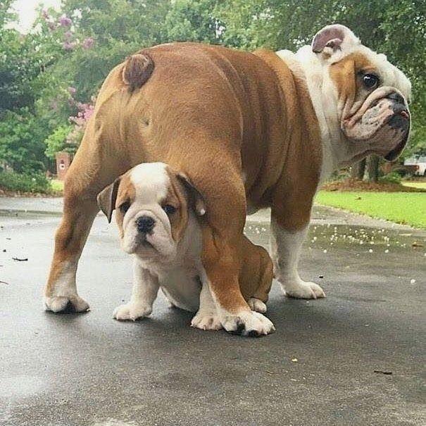 Pin By Cindy Mendoza On English Bulldog Love Bulldog