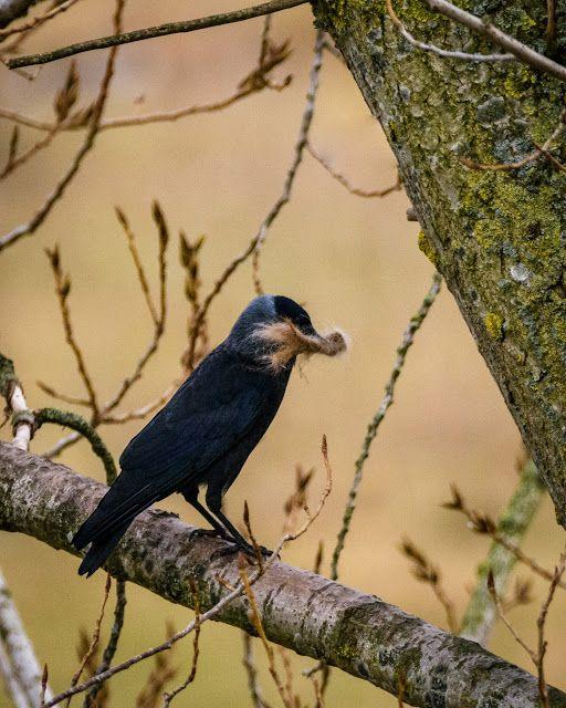 Claes`s Photo blog: getting closer and closer to breeding season