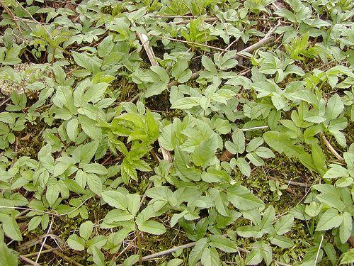 """Zevenblad - Aegopodium podagraria (Onze groenten en onze wilde vruchten bij de keuken aangepast - A. Bracke 1941) """"Zoo malsch is haar smaak, dat men ze als afzonderlijke groente bereidt. Maar dikwijls ook, ter oorzake van haar geur - valsch engelkruid - kookt men ze gemengd met netel-, duizendblad-, aderwortel- en ereprijsbladeren."""""""