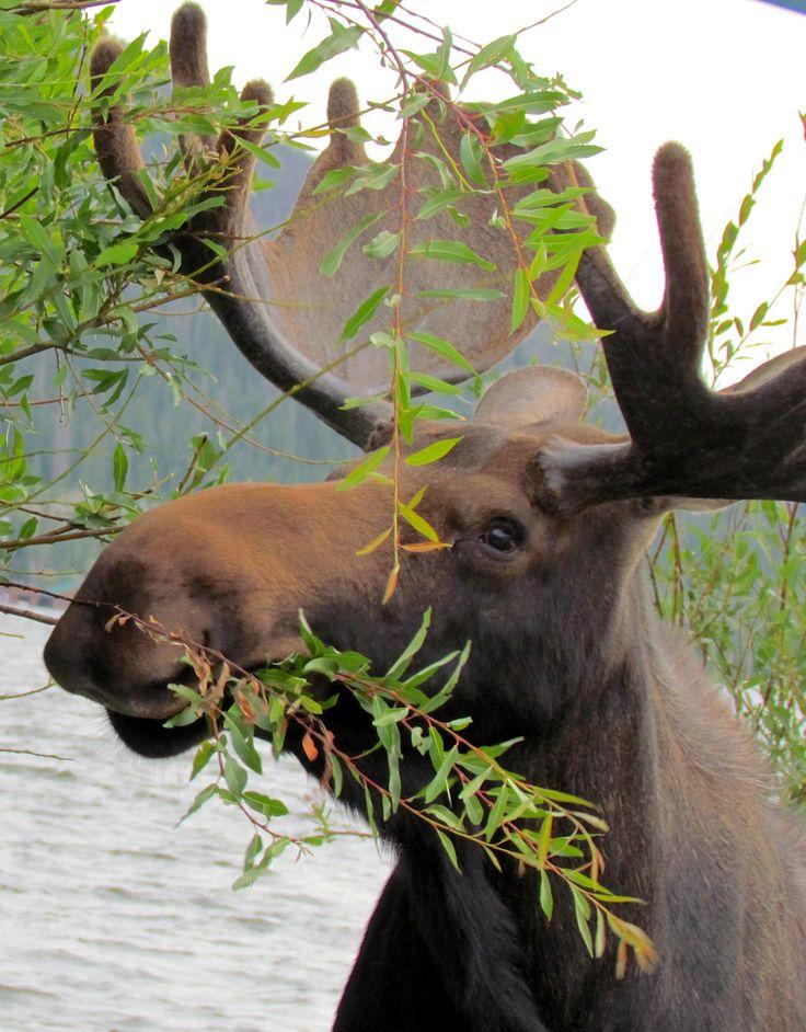 Bull Moose near Grand Lake, Colorado.