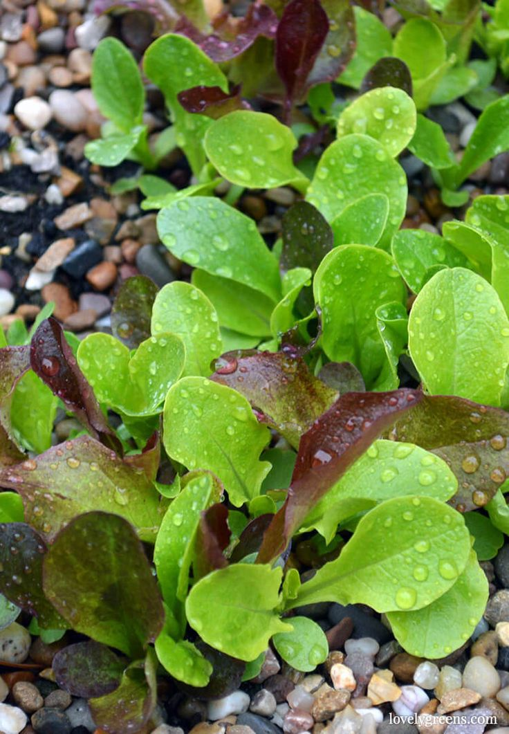 how to grow salad greens indoors