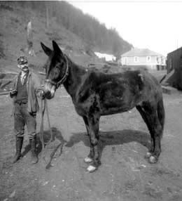 Bess the mule at Franklin Coal Mine, King County