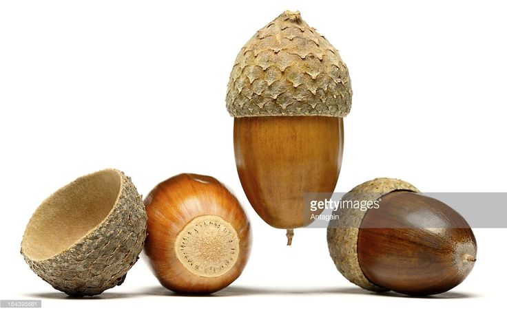 Stock Photo : Acorns