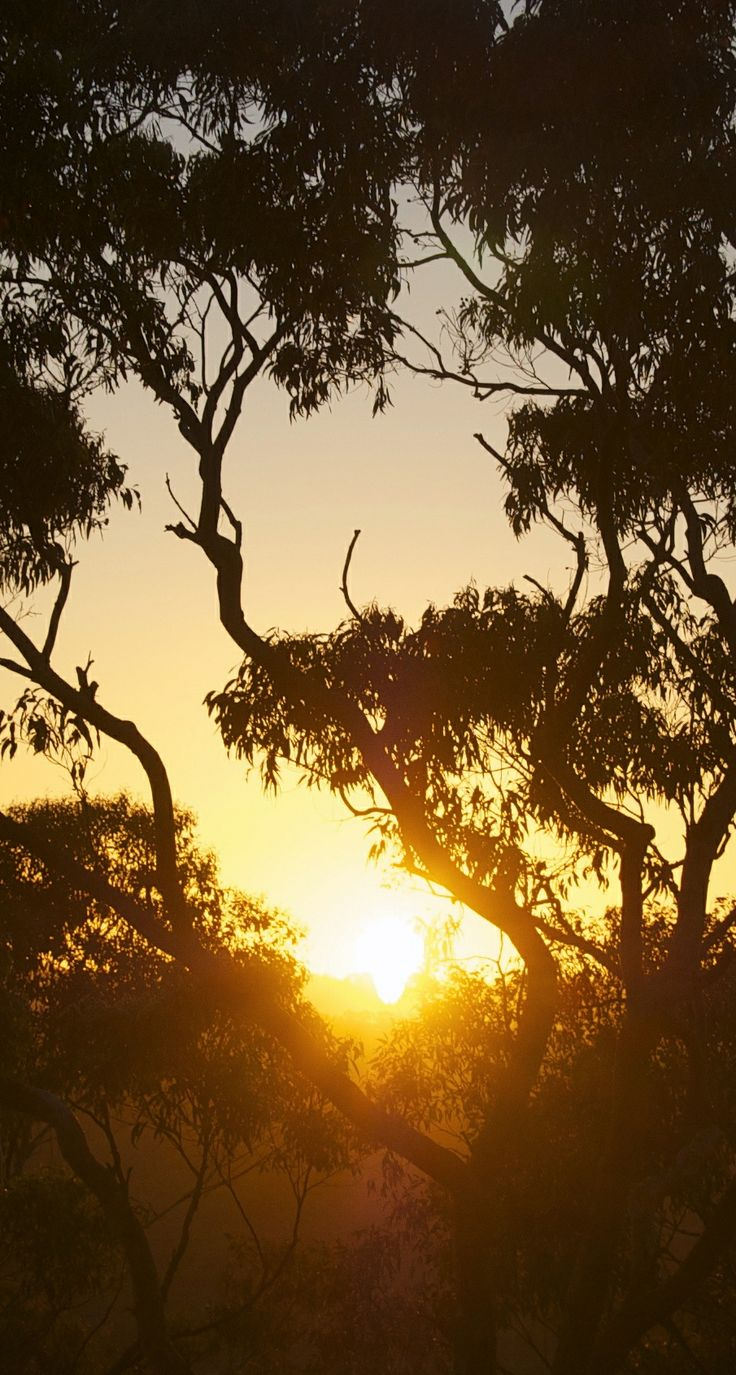 #Australian #gumtree #sunrise