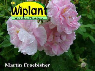 Martin Froebisher växer med en höjd om 1,5 - 2 meter, ibland ännu högre. Denna rugosa korsning blommar bra under hela sommaren. Härdig till USDA zon 2 (-40C). Hos oss övervintrar den utan problem.