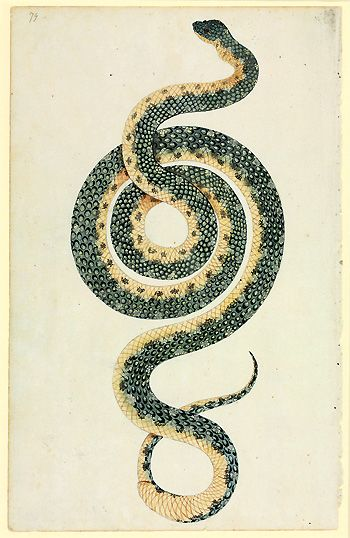 Port Jackson Painter  Watercolour and ink, c1788 - 1798, © Natural History Museum  Port Jackson Painter collection  This striking depiction of a snake formed part of Sir Joseph Banks' personal collection of First Fleet art, donated to the British Museum in 1827.