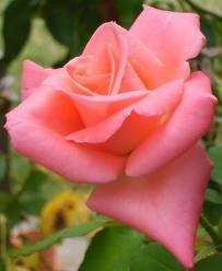 """""""Sonja"""" rose, salmon pink"""