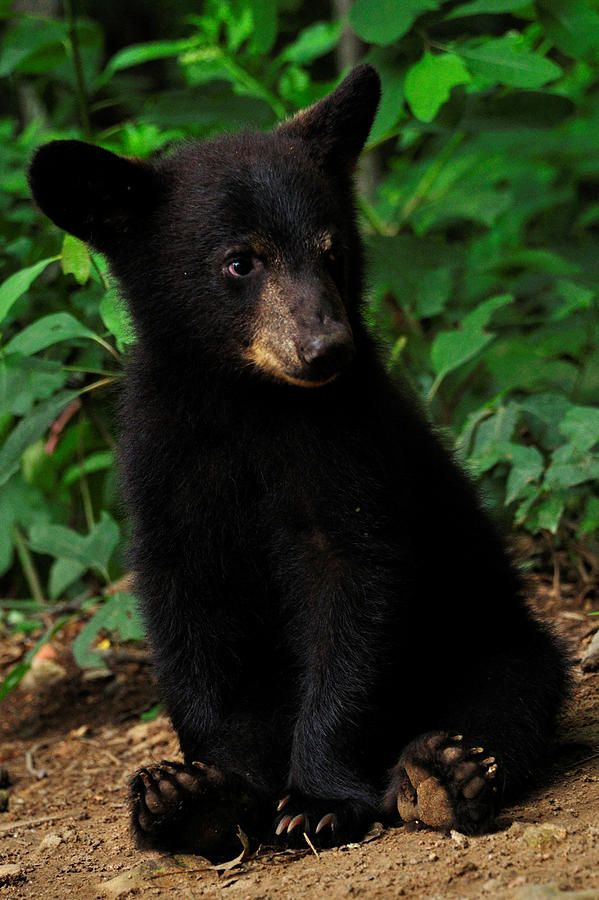 |So sweet this little black bear cub-but so dangerous! do not feed!