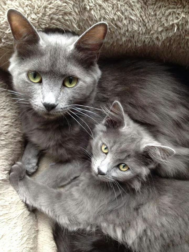 Grey furred Mother Cat and her Grey furred Daughter