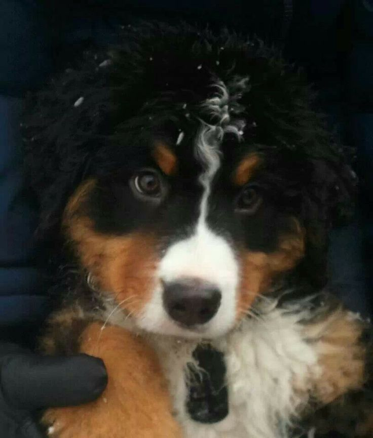 17 Best Images About Pins For Pets On Pinterest: 17 Best Images About Bernese Mountain Dog/Newfoundland