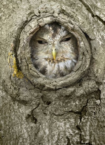 we had a mama owl build a nest in the  hole in our tree in our front yard last year---it was so cool!
