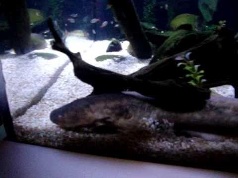 Film pokazuje pomiary zmian pola elektromagnetycznego ryb mierzone przy pomocy oscyloskopu