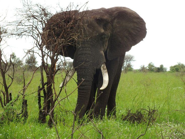 Lone elephant bull in Kruger Park