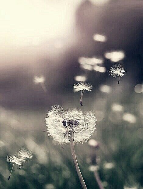 Dandelion - wallpaper