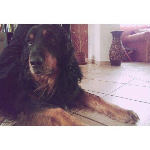 #big #dog #hovawart #puppy