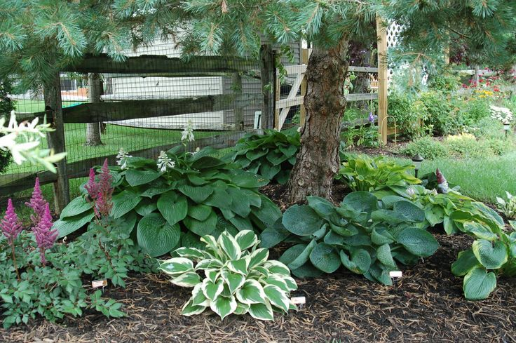 Planting Under Pine Trees : Image result for hostas under pine trees lay out a