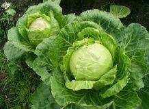 Все сорта капусты: от брюссельской до кольраби и рецепты приготовления